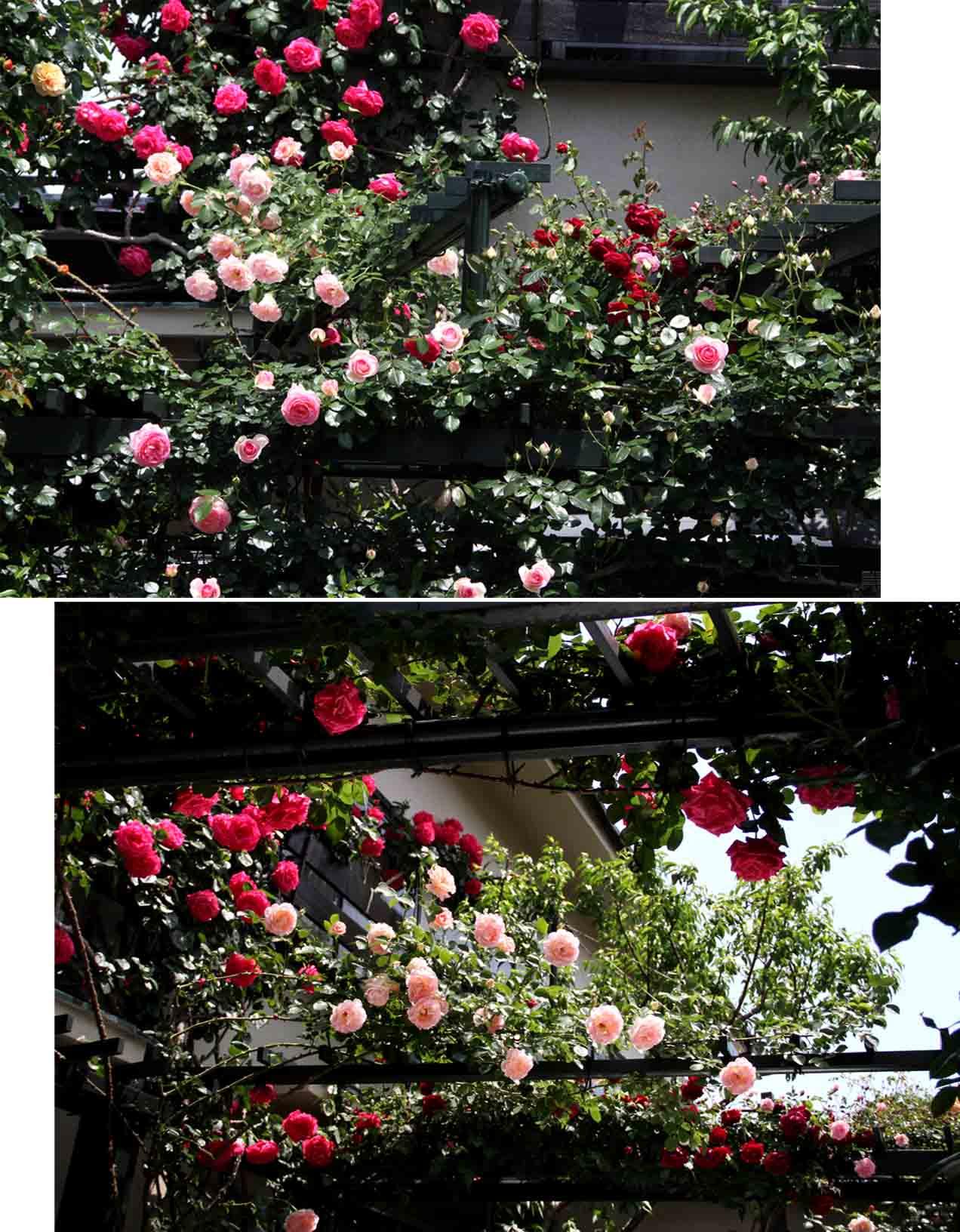 今日のバラ(5月7日) (1)