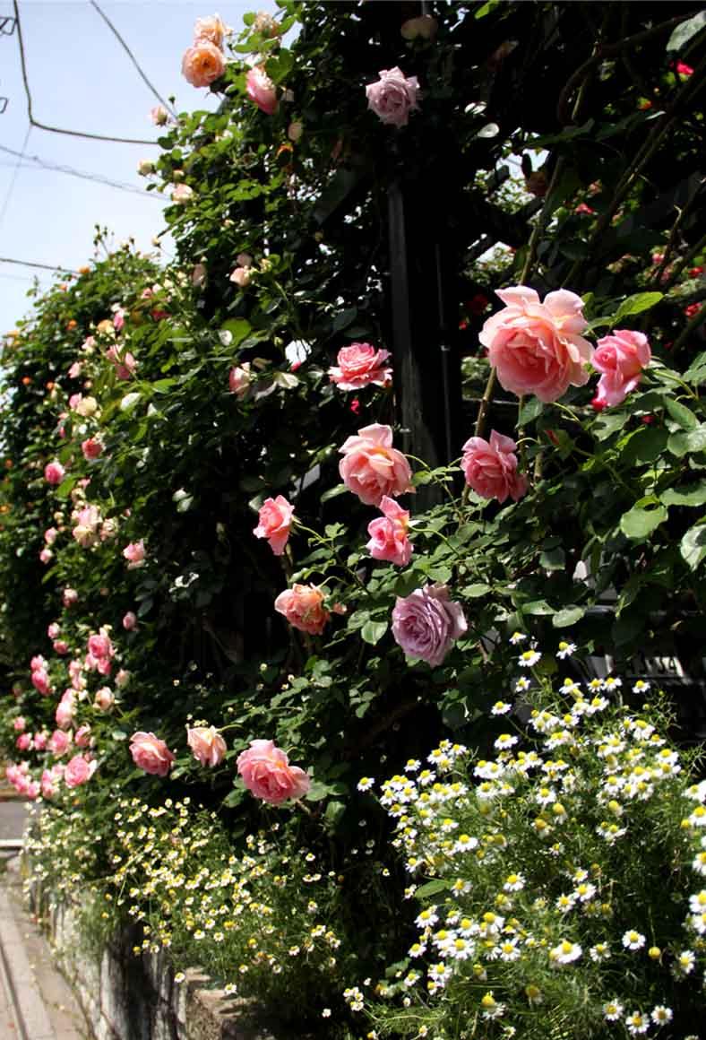 今日のバラ(5月7日) (2)