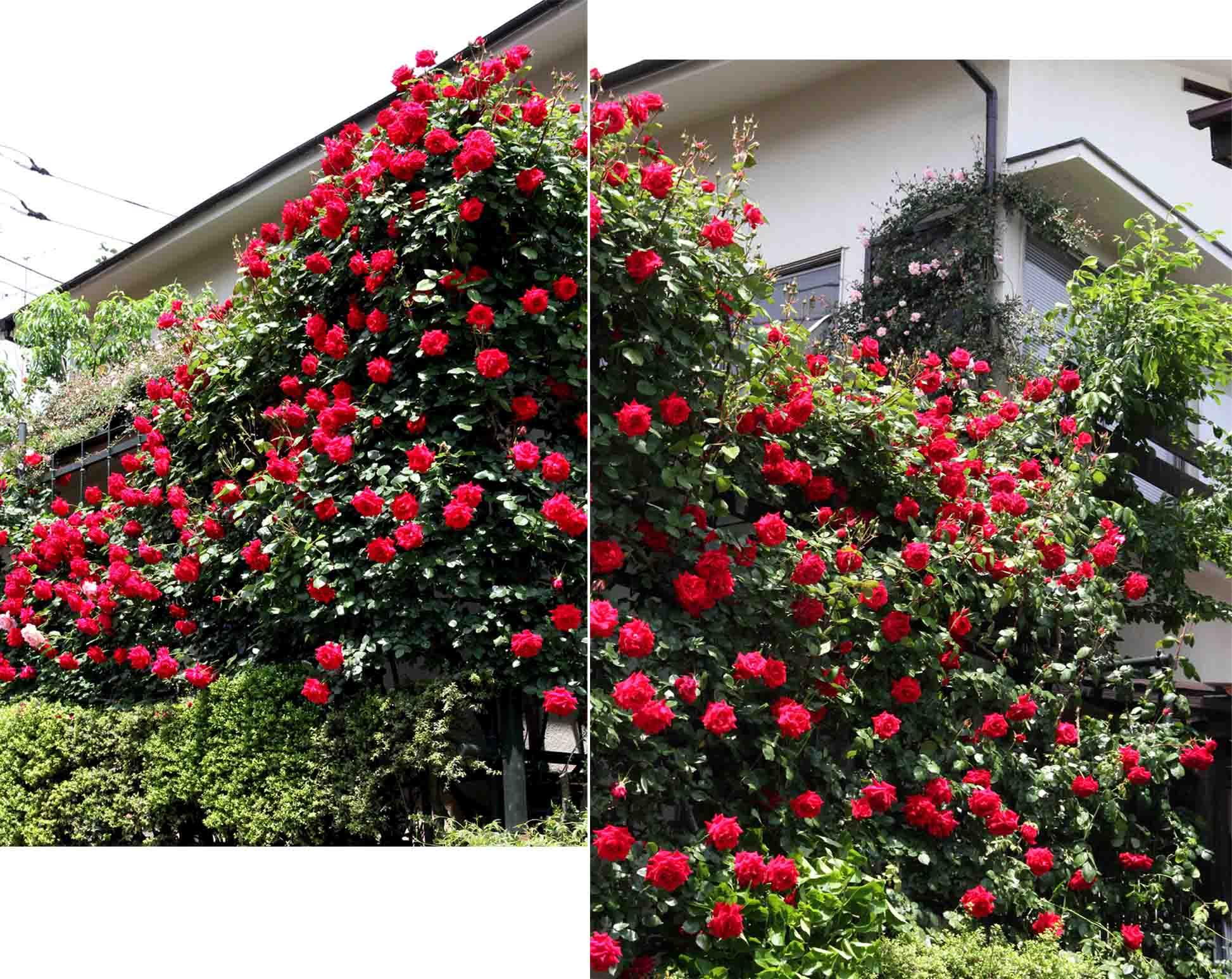 今日のバラ(5月7日) (7)