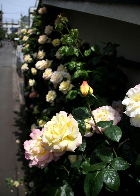 今日のバラ(5月7日) (9)