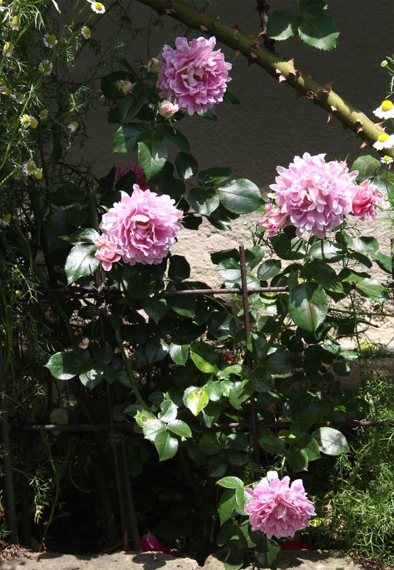 今日のバラ(5月7日) (10)