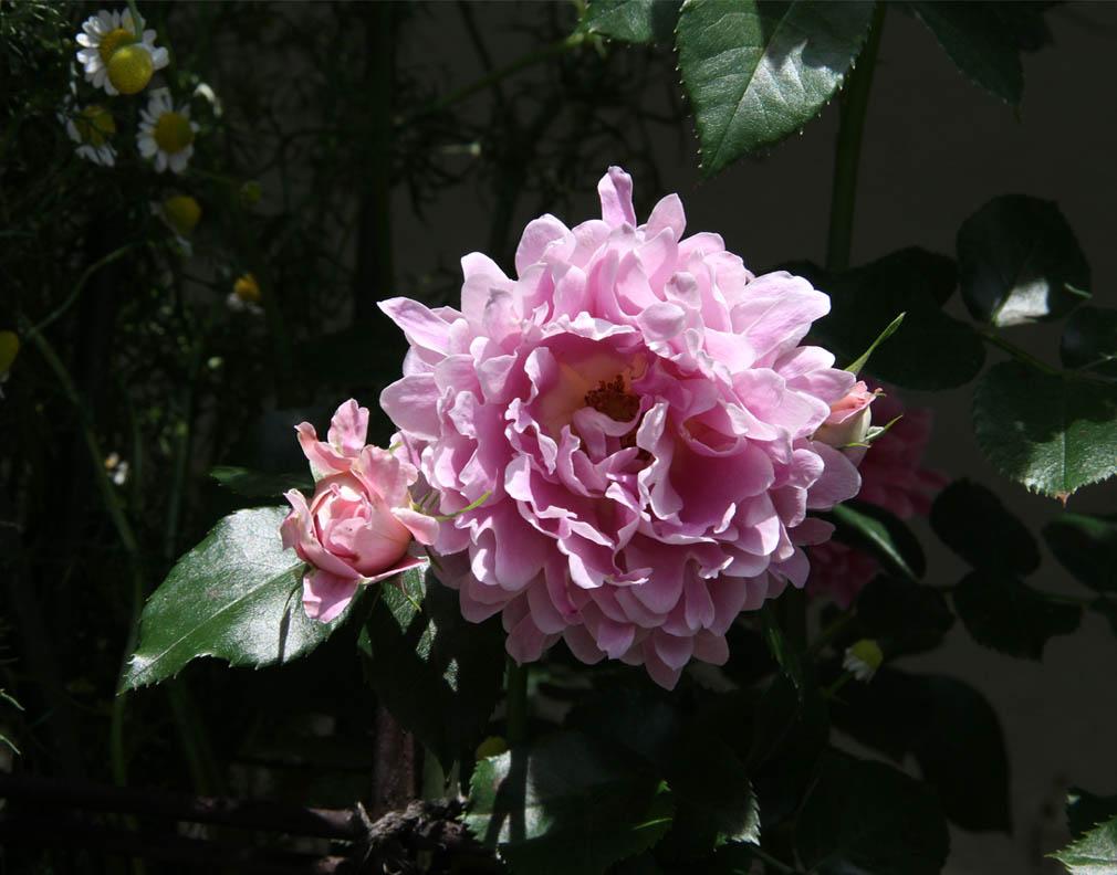 今日のバラ(5月7日) (11)