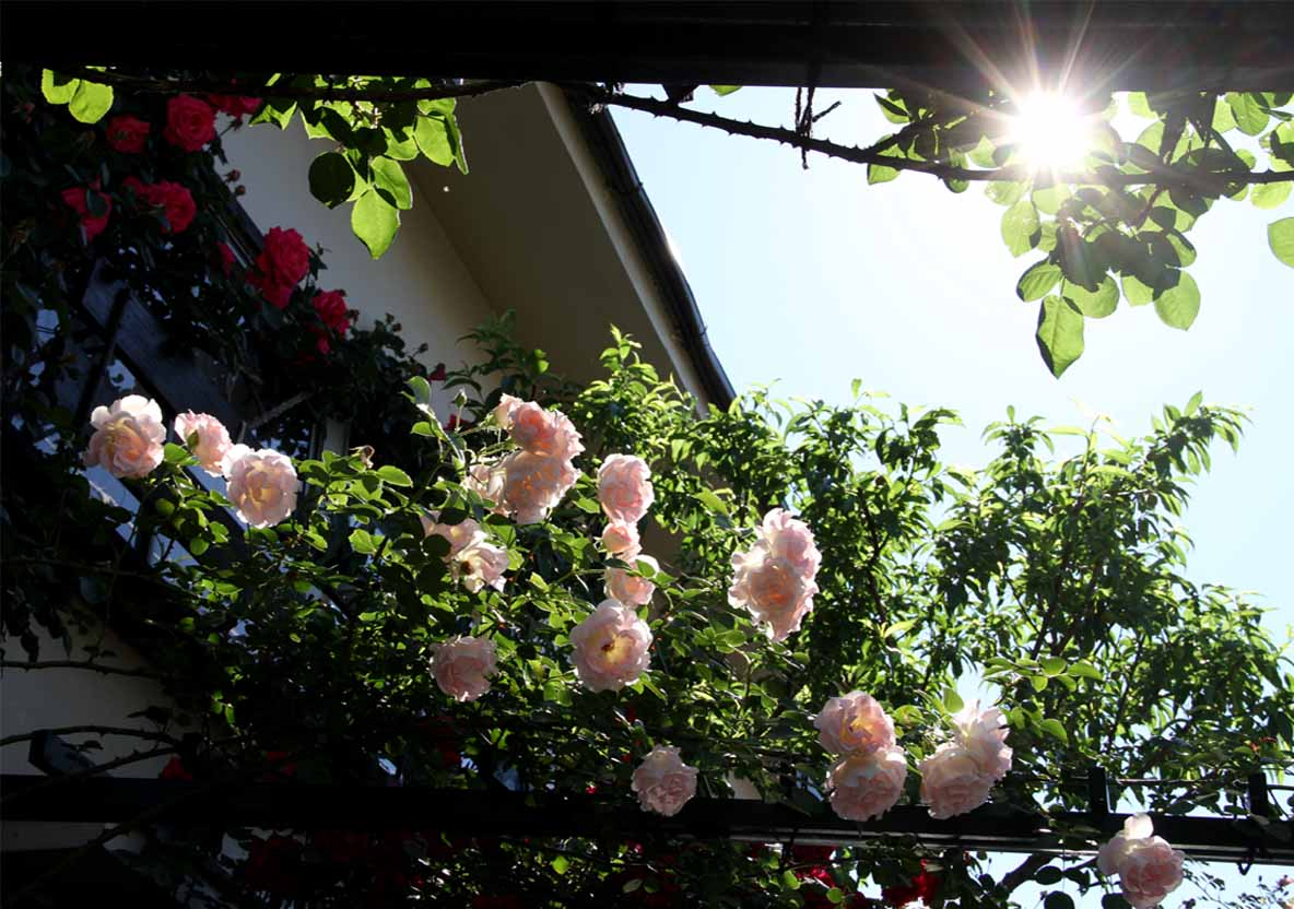 5月12日 朝のバラ(1)