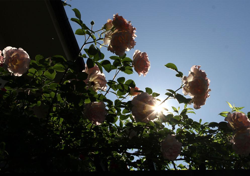5月12日 朝のバラ(2)