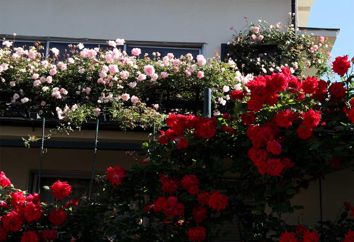 5月12日 朝のバラ(5)