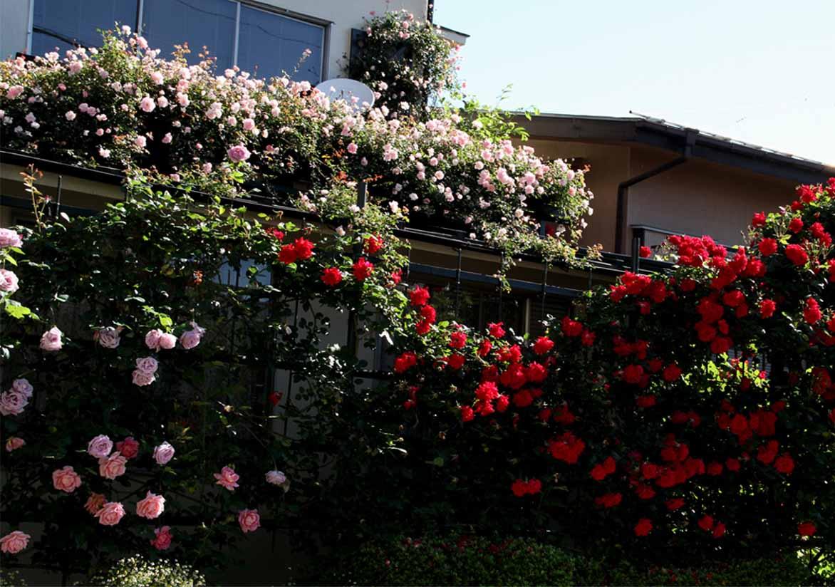 5月12日 朝のバラ(6)