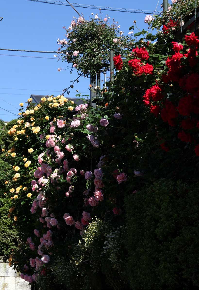 5月12日 朝のバラ(7)