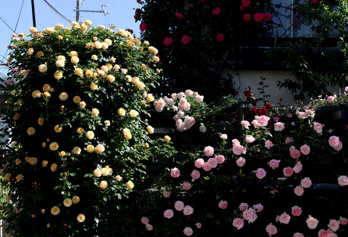 5月12日 朝のバラ(8)