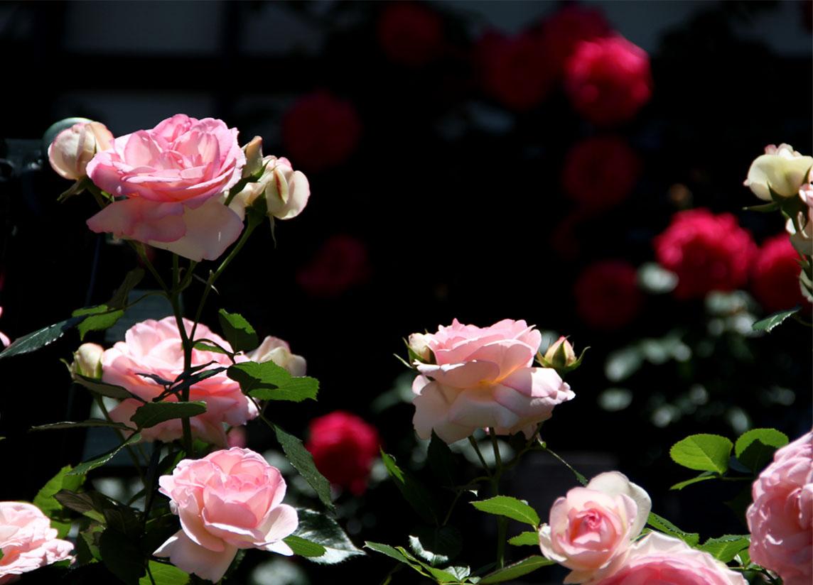 5月12日 昼のバラ(1)