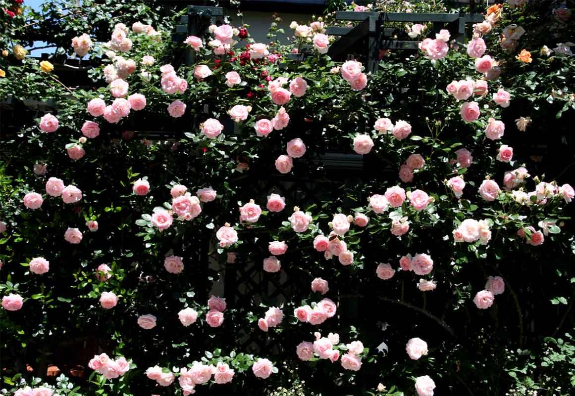 5月12日 昼のバラ(2)