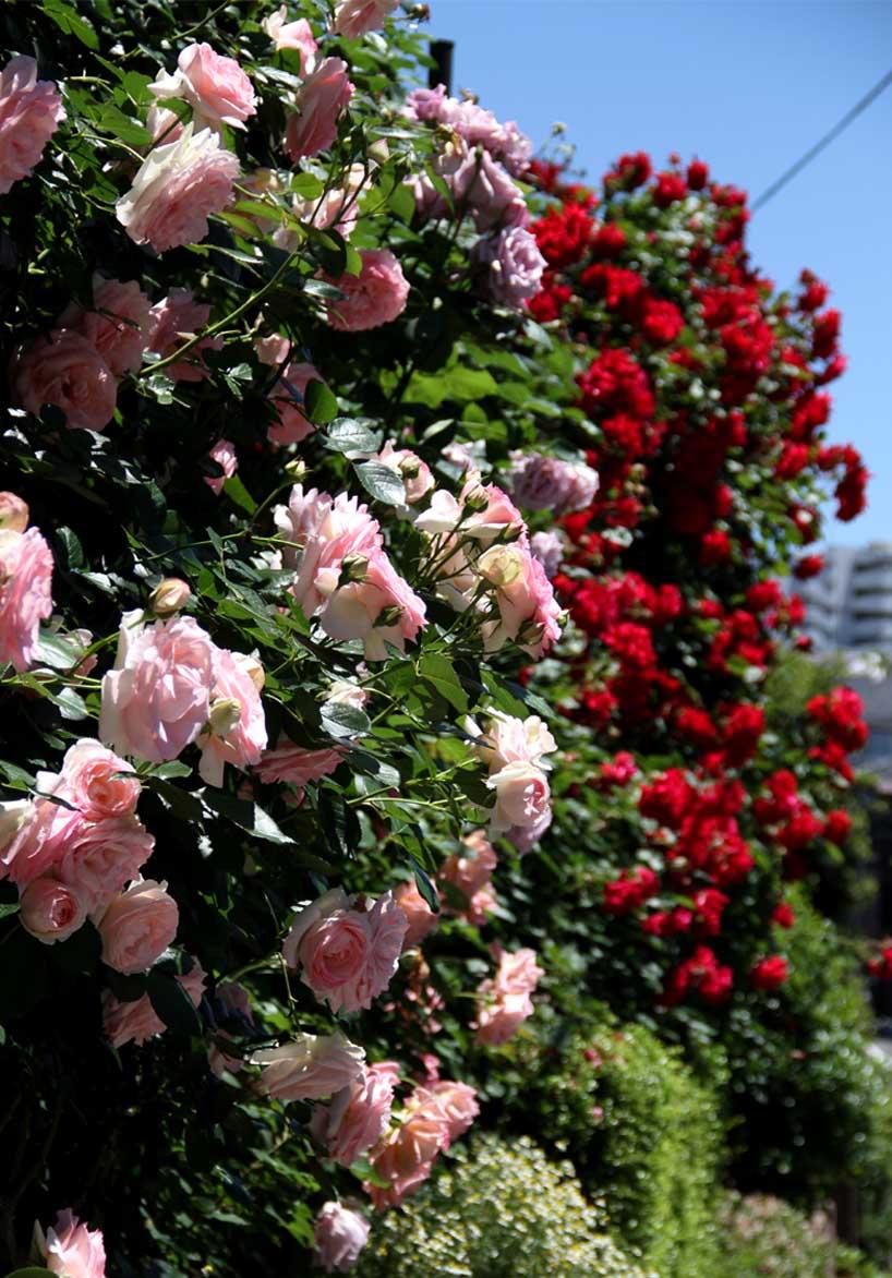5月12日 昼のバラ(3)