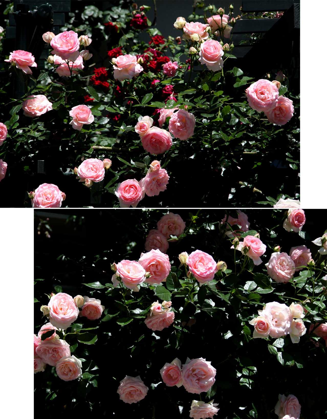 5月12日 昼のバラ(4)