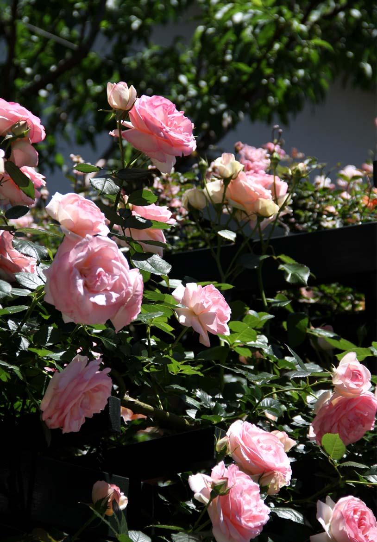 5月12日 昼のバラ(5)