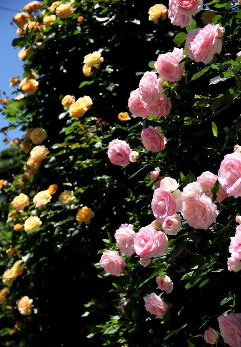 5月12日 昼のバラ(6)