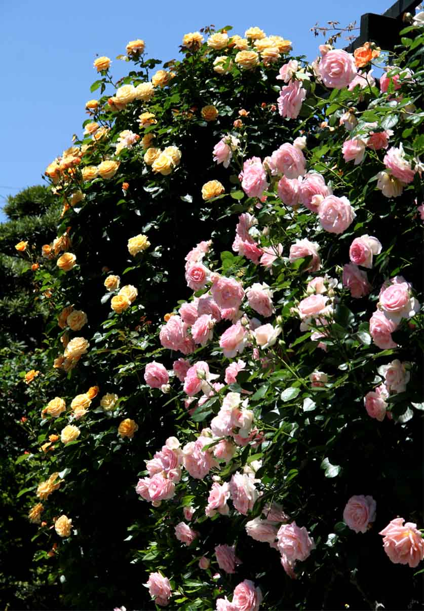 5月12日 昼のバラ(7)