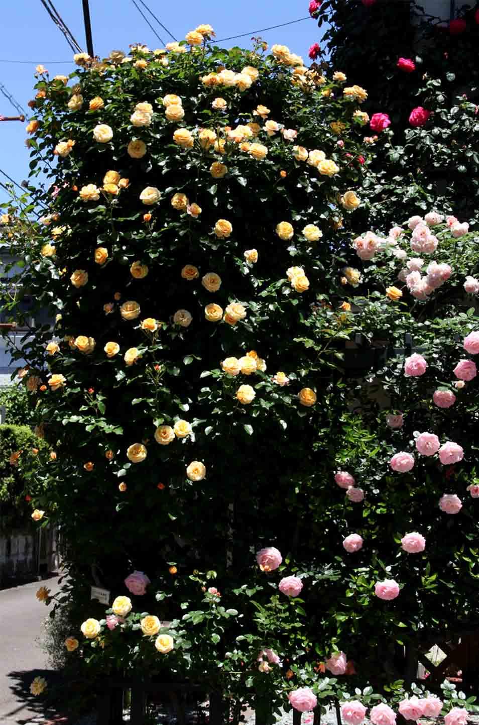 5月12日 昼のバラ(8)