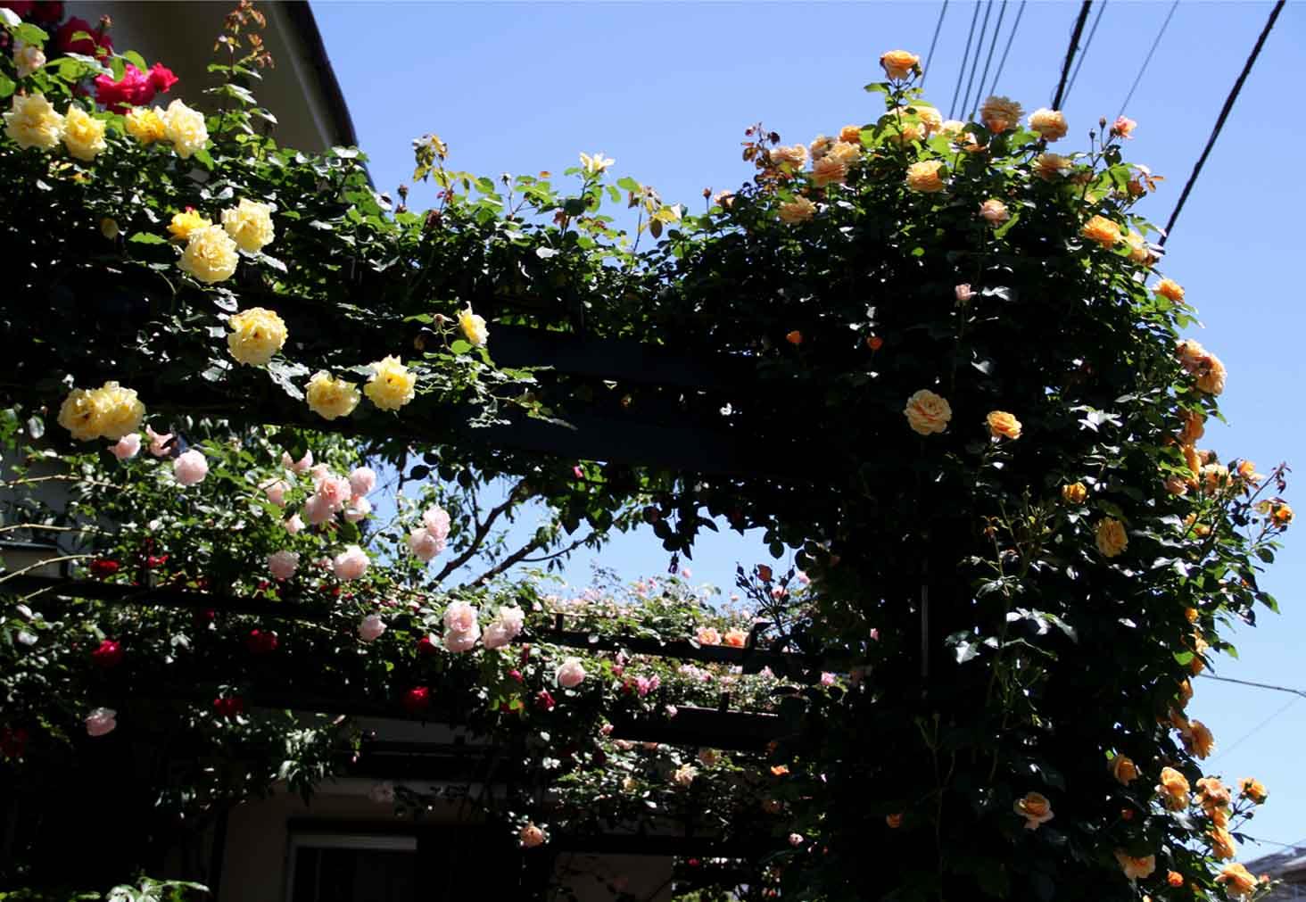 5月12日 昼のバラ(9)