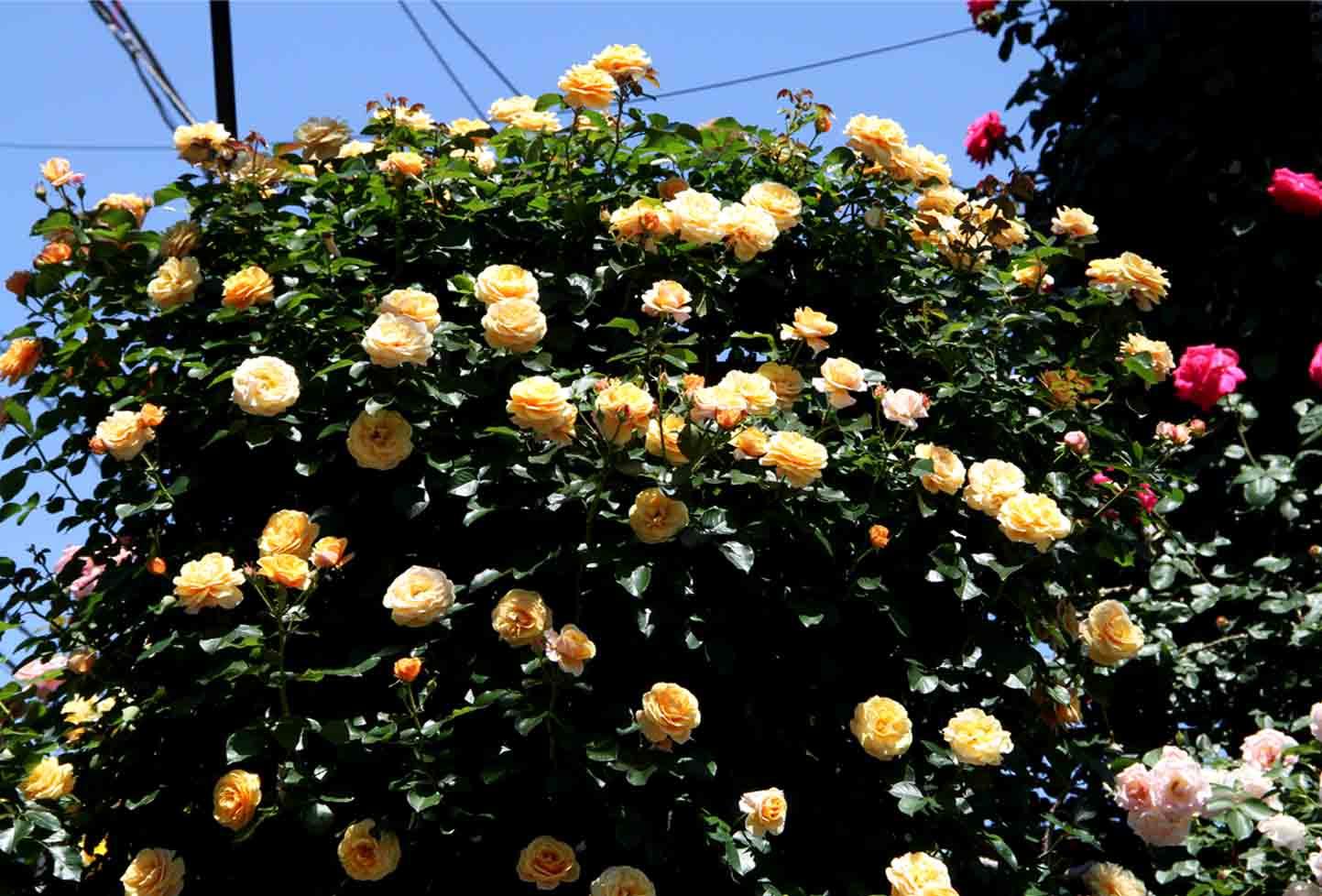 5月12日 昼のバラ(10)