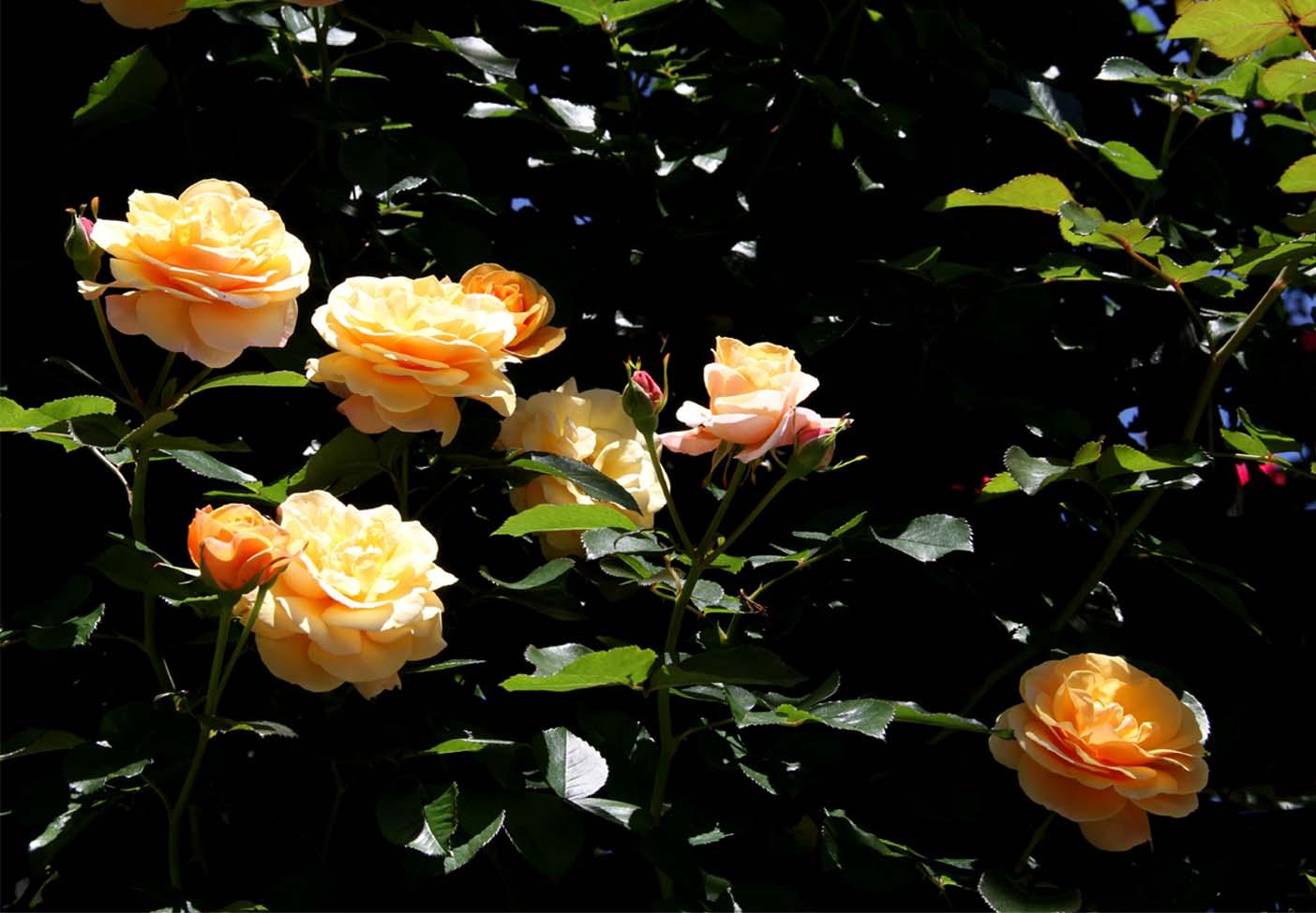 5月12日 昼のバラ(11)