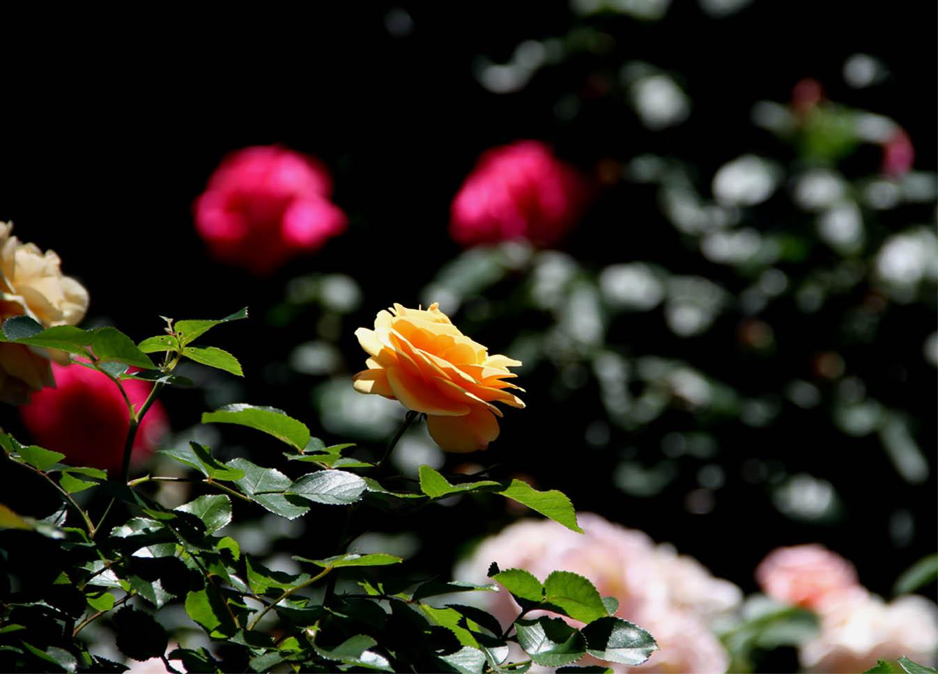 5月12日 昼のバラ(12)