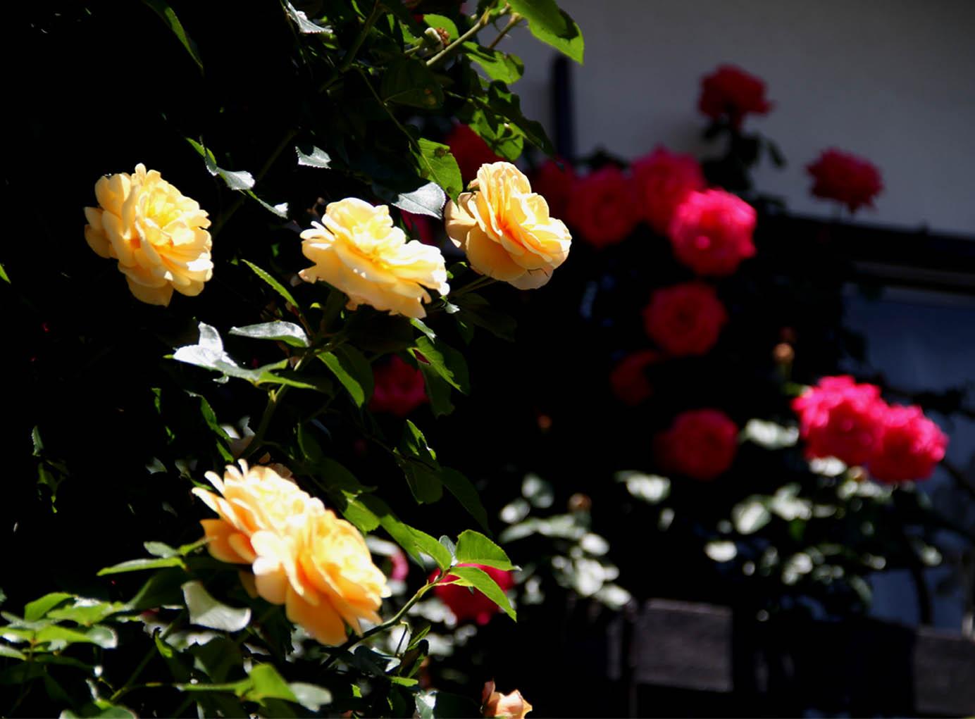 5月12日 昼のバラ(13)