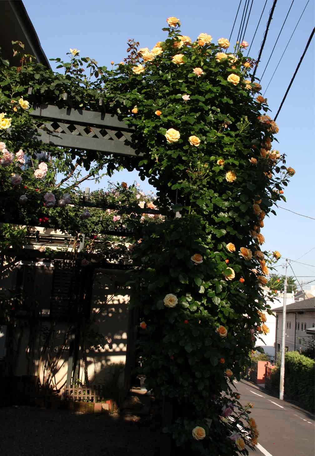 5月12日 昼のバラ(14)