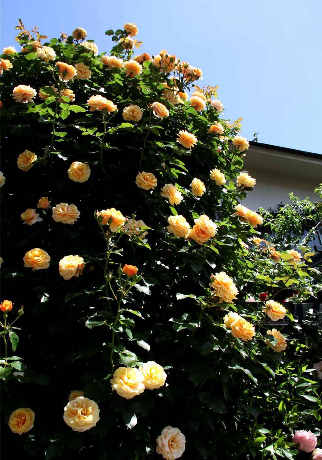 5月13日 昼のバラ(1)