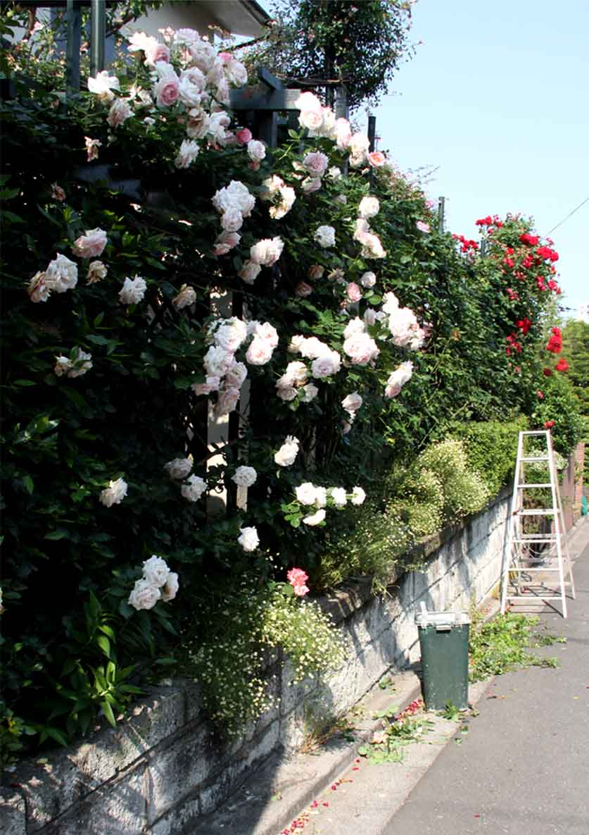 咲いた数だけある 咲きがら(1)