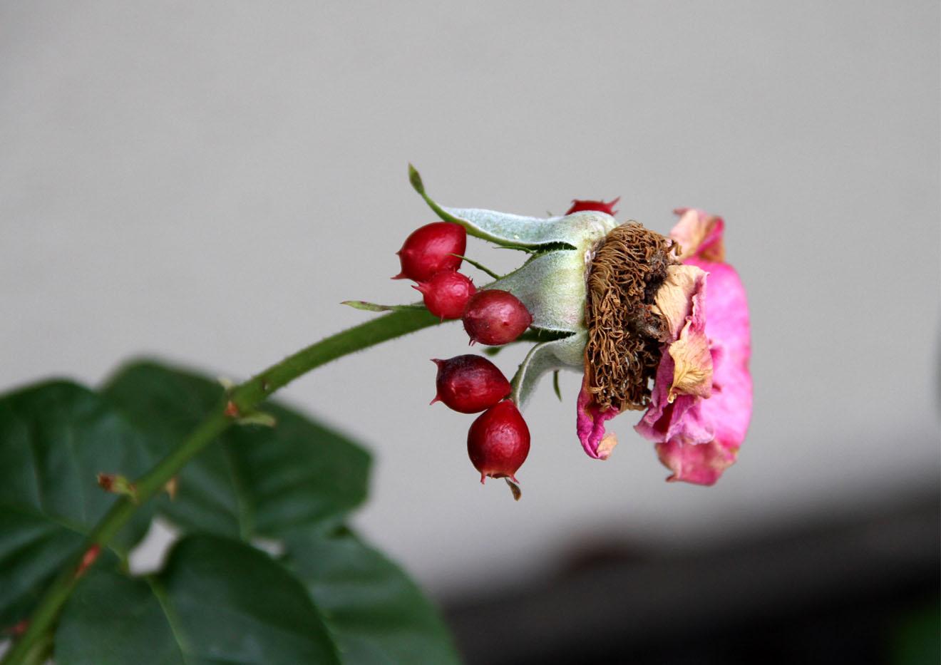 綺麗でも気味悪い 虫こぶ(3)