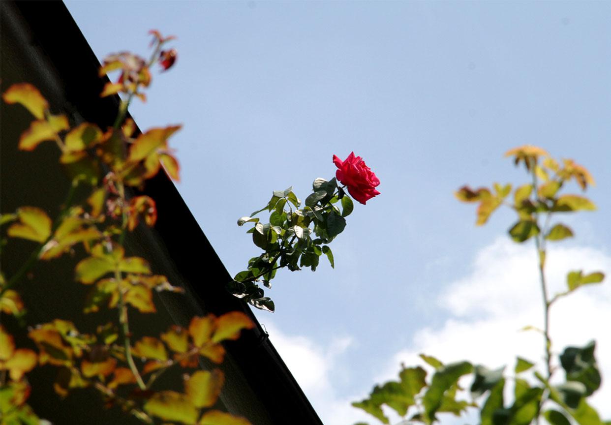 孤高のバラ (1)