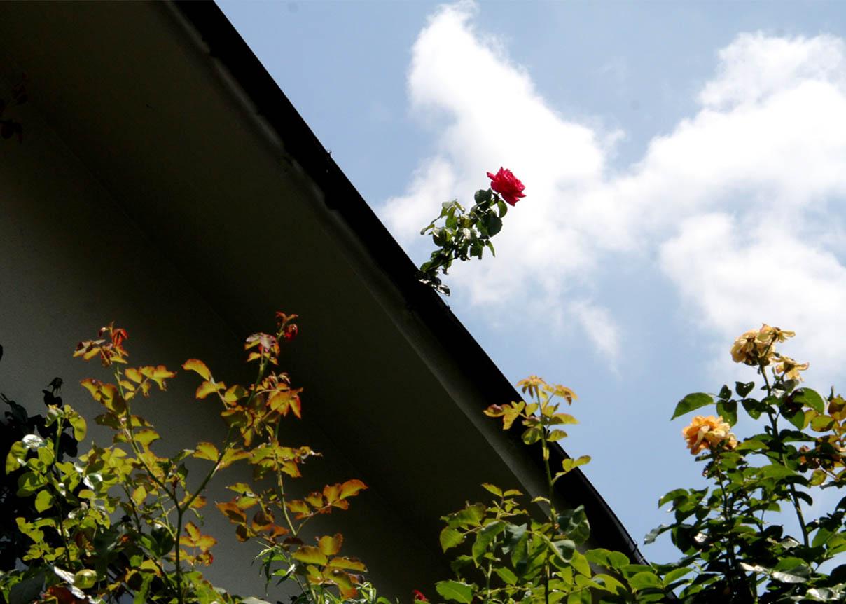 孤高のバラ (2)