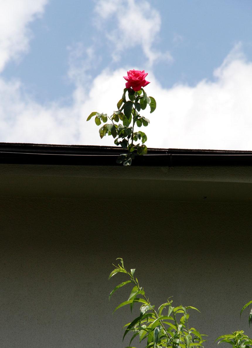 孤高のバラ (4)