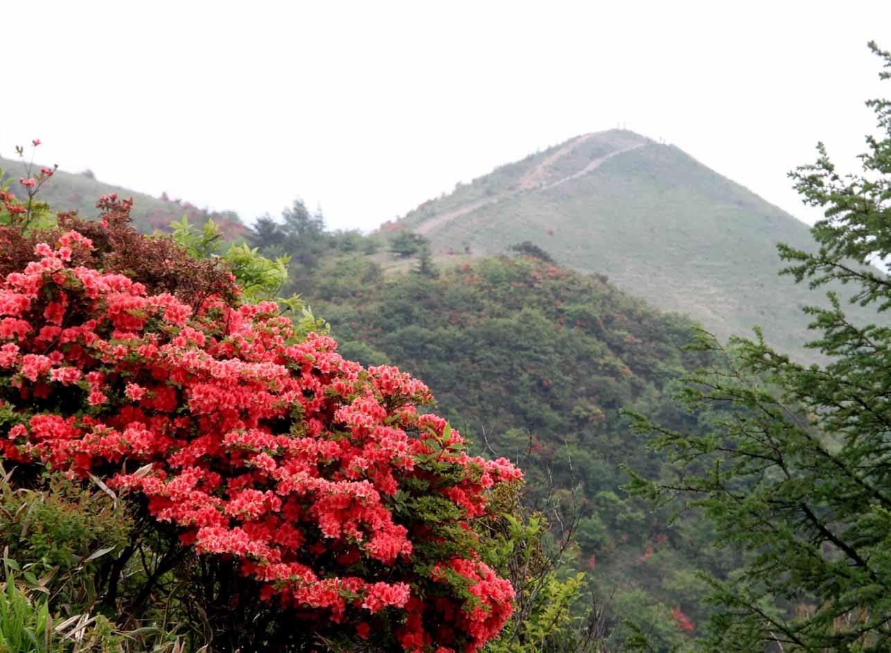 レンゲツツジの飯盛山(3)