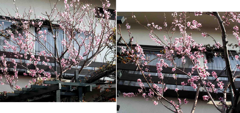 今年の桃 (1)