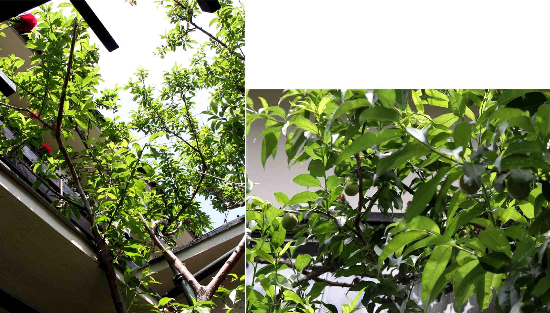 今年の桃 (2)