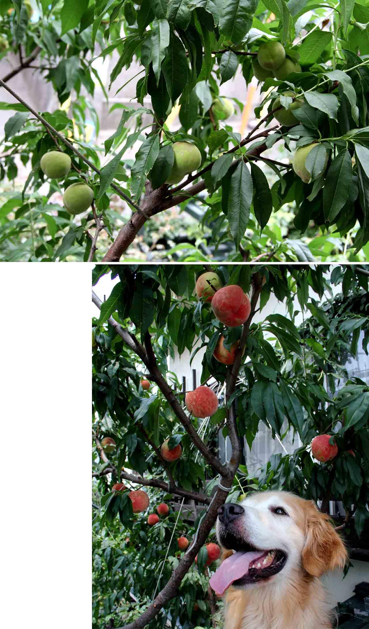 今年の桃 (3)