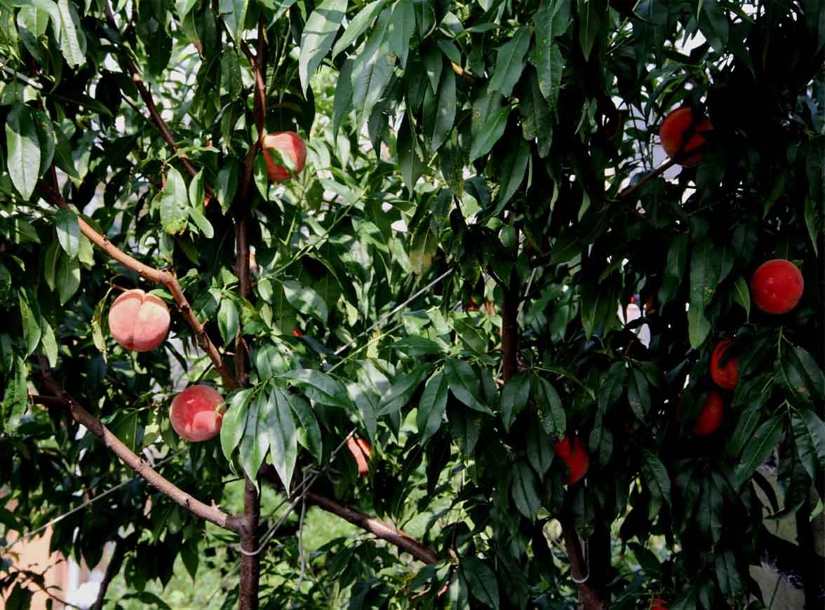 桃から桃ジャム(12)