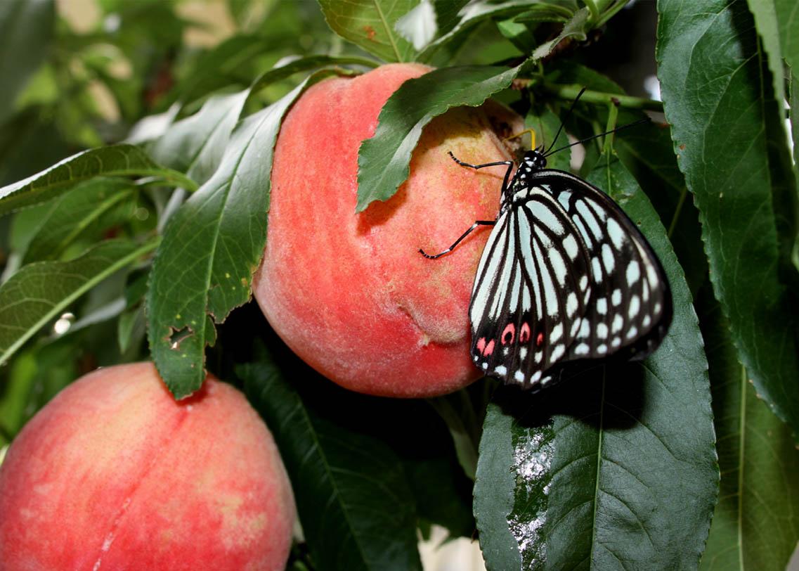 桃にアカボシゴマダラ(3)