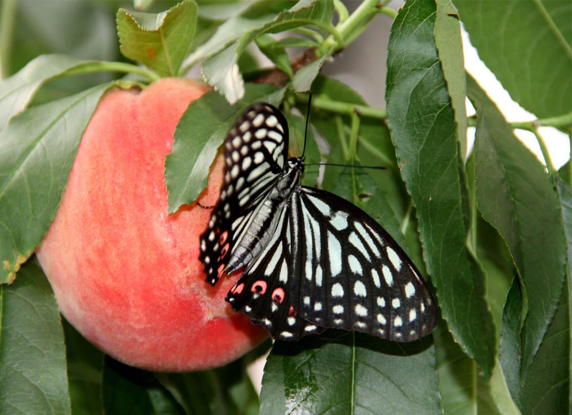 桃にアカボシゴマダラ(4)