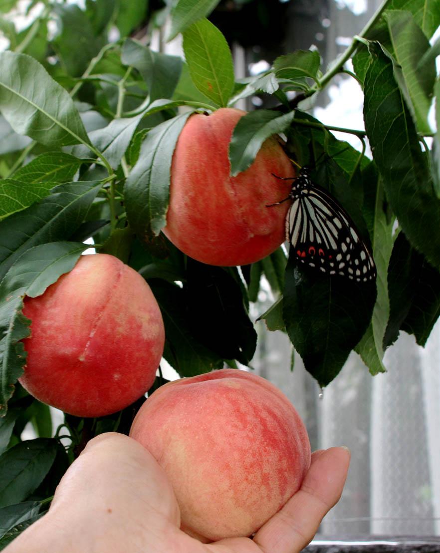 桃にアカボシゴマダラ(5)