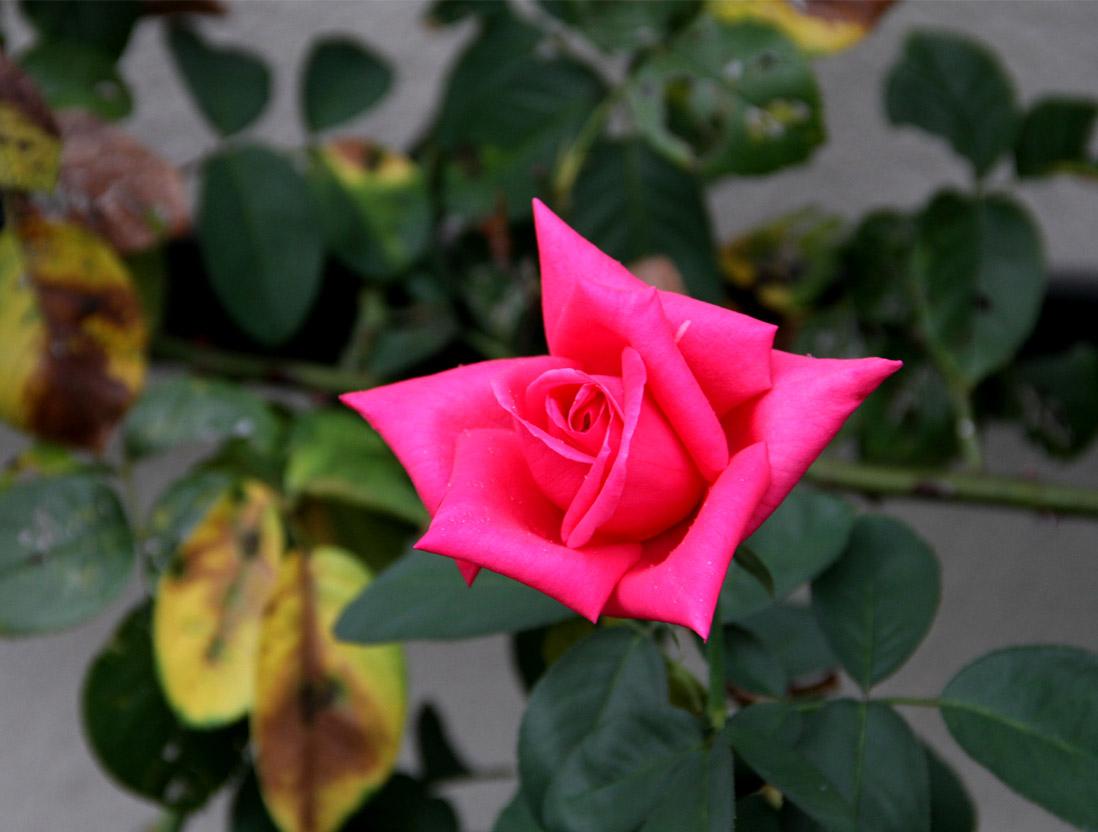 久々のバラ模様(2)