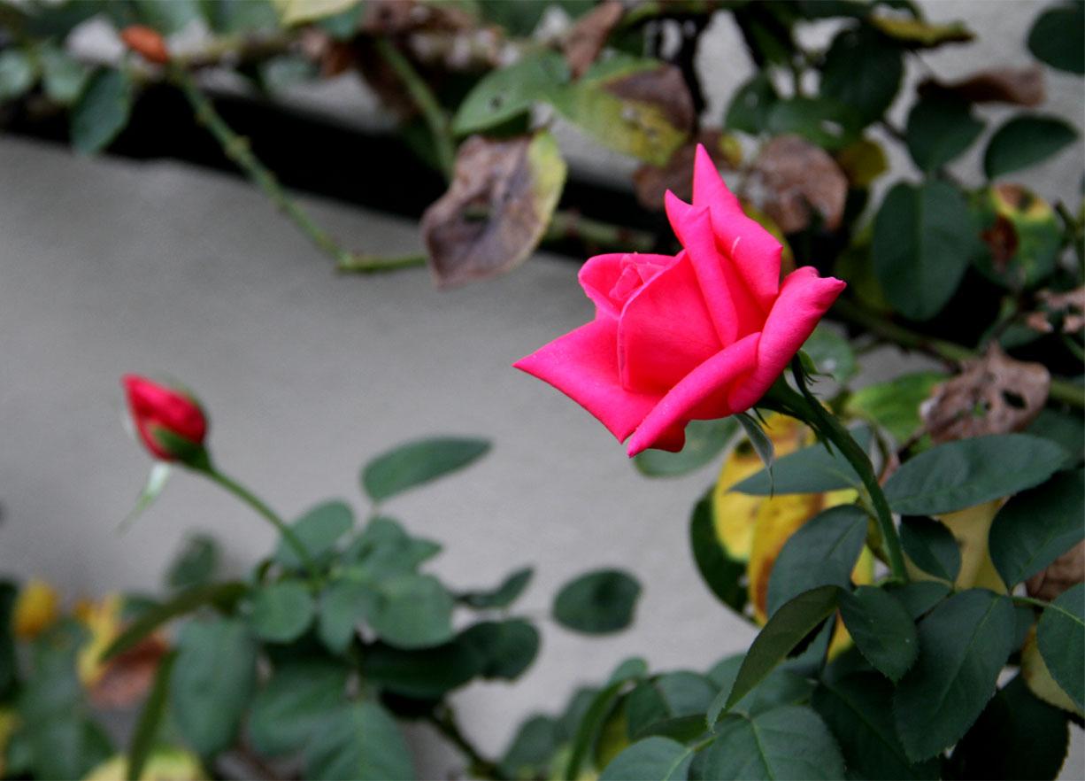 久々のバラ模様(4)