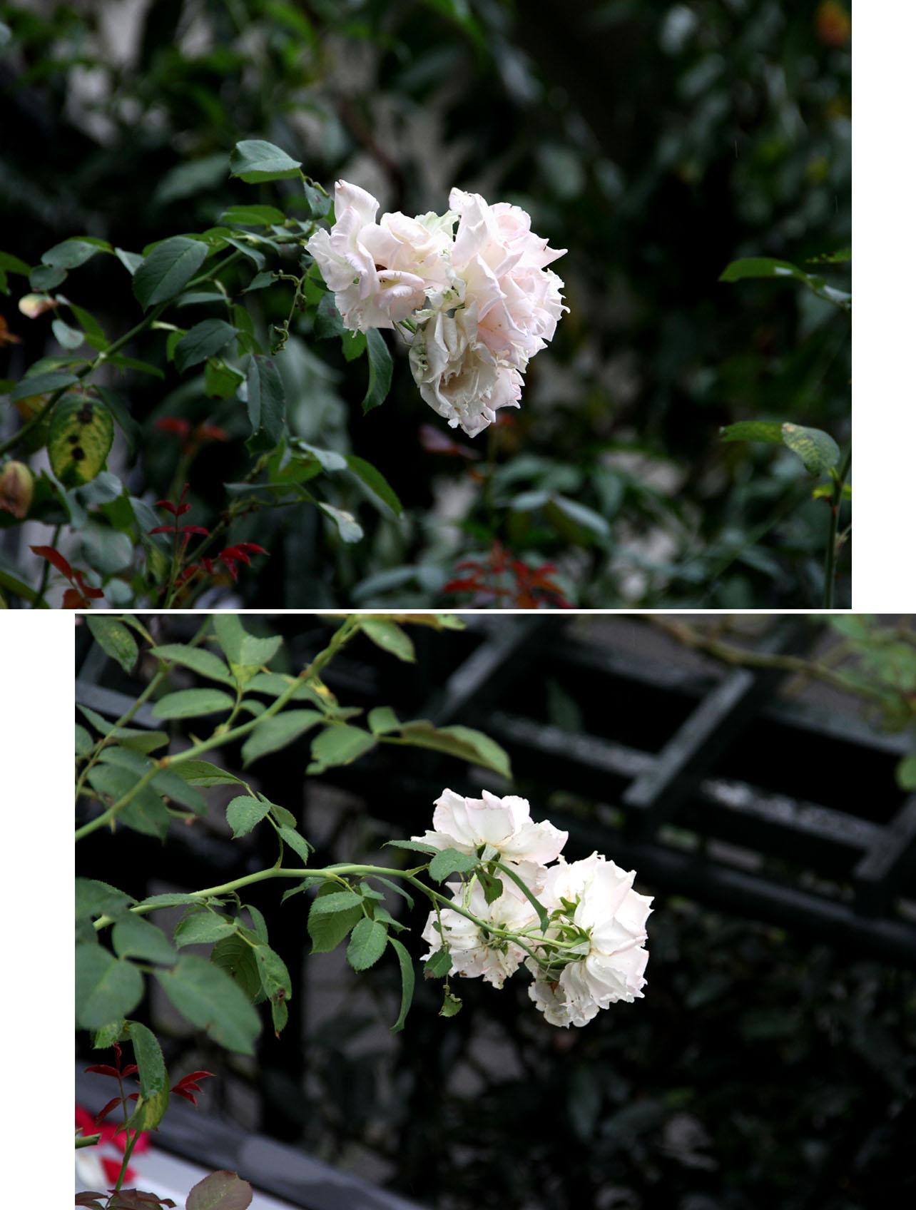 久々のバラ模様(5)