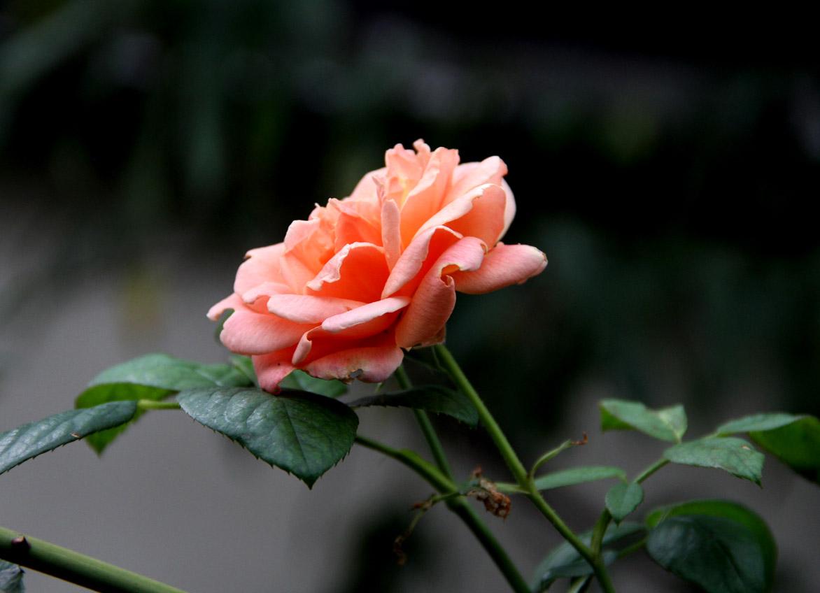 久々のバラ模様(7)