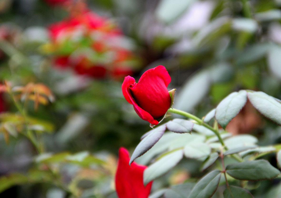 久々のバラ模様(8)
