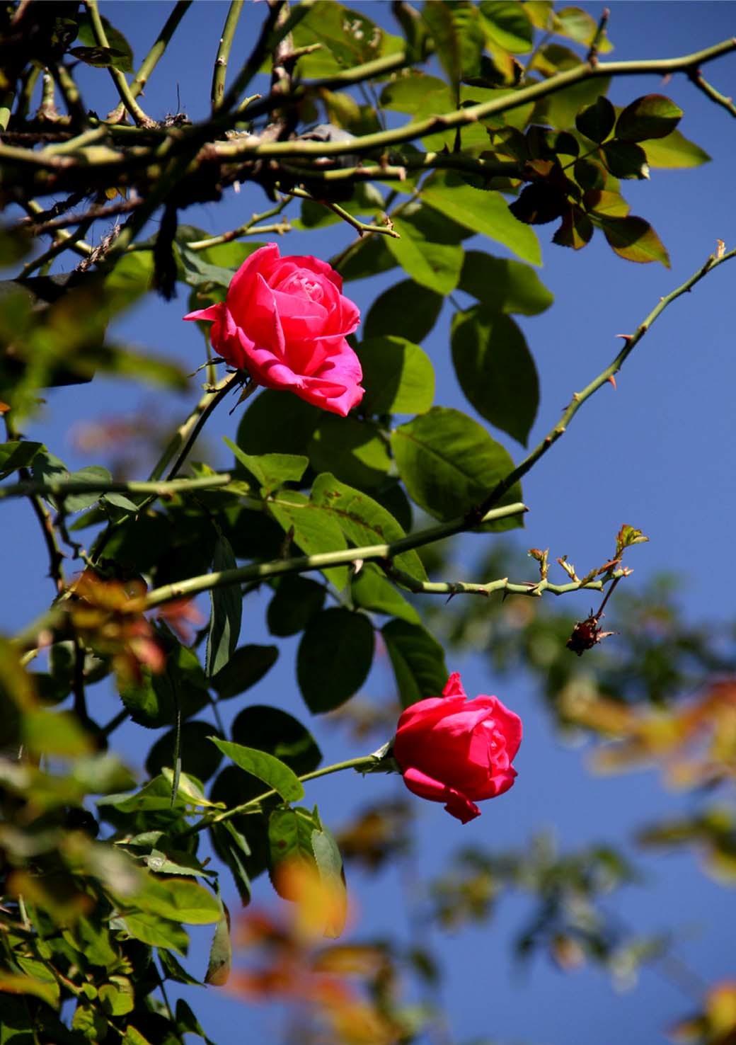 11月3日のバラ(3)