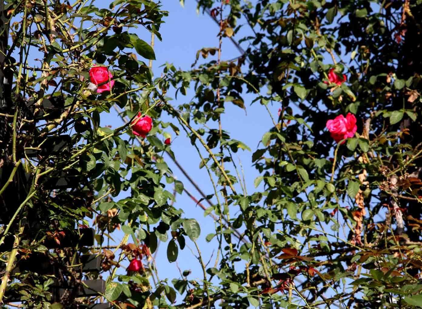 11月3日のバラ(2)