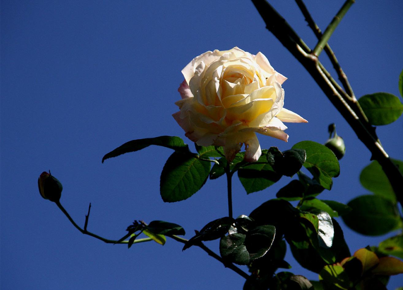 11月3日のバラ(4)