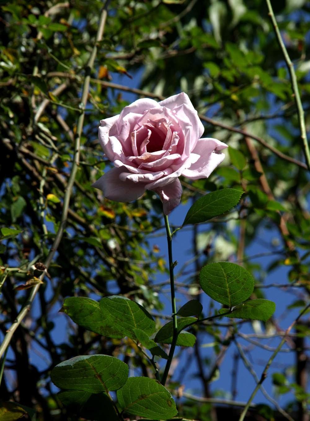 11月3日のバラ(5)