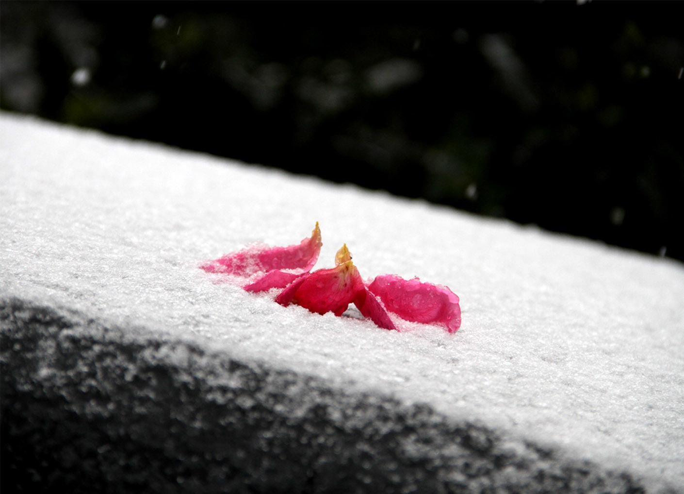 20161123の雪とバラ(1)